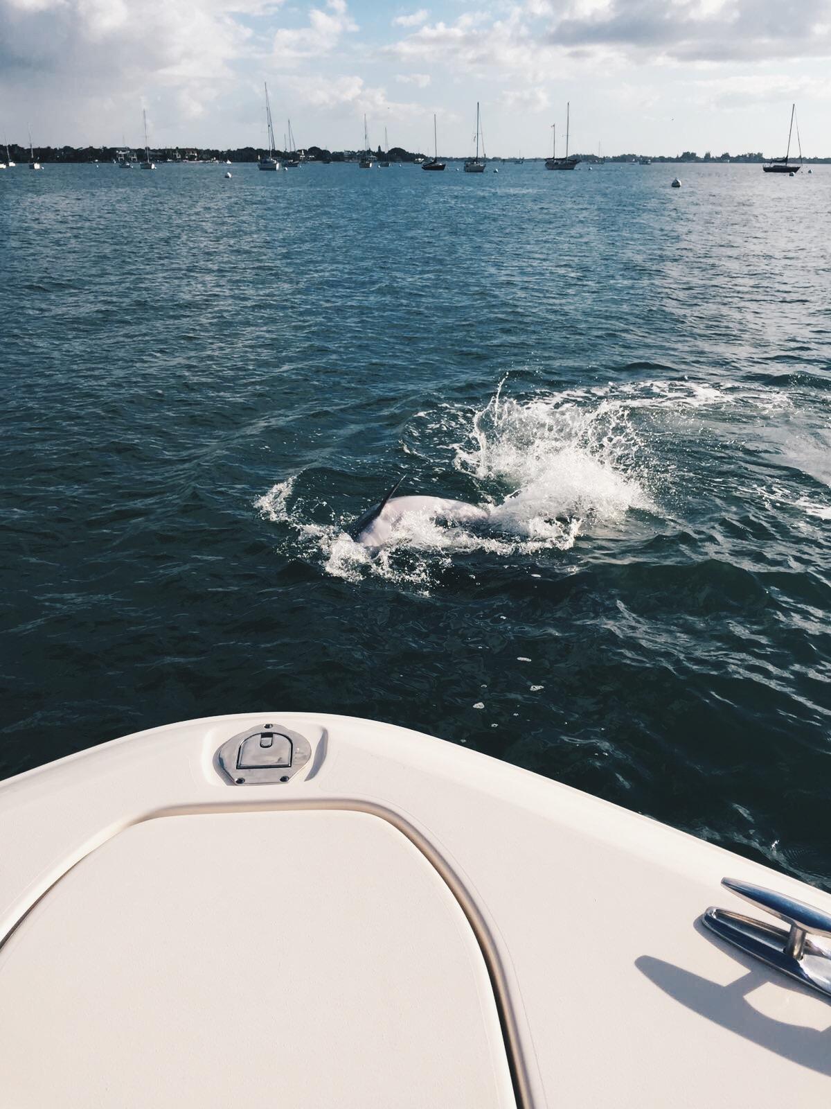 sarasota_harbor_dolphins